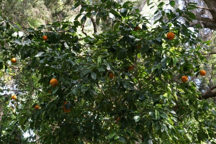 Orange Tree on Mound