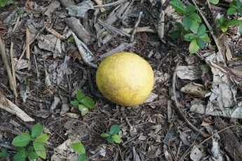 Grapefruit on Mound