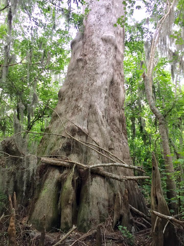 Ancient Cypress Trees At Spring Hammock Preserve Florida