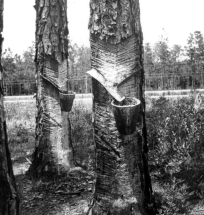 Herty Cups attached to Pine Trees