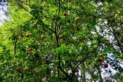 Orange Tree by Homestead