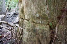 "Old Cypress Tree ""Markings from Loggers"""